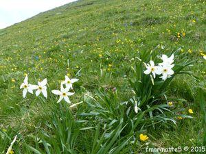 Tulipe du Vercors, gentianes bleues et narcisses.