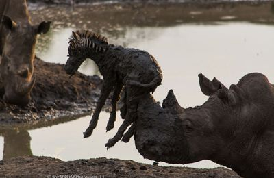 A Melancholy Moment Between A Rhino And A Zebra Foal