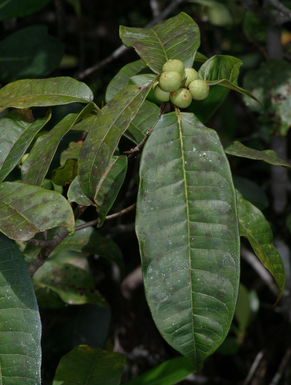 Ficus cremersii
