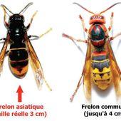 Frelon asiatique : La chasse aux nids, qui contacter ?