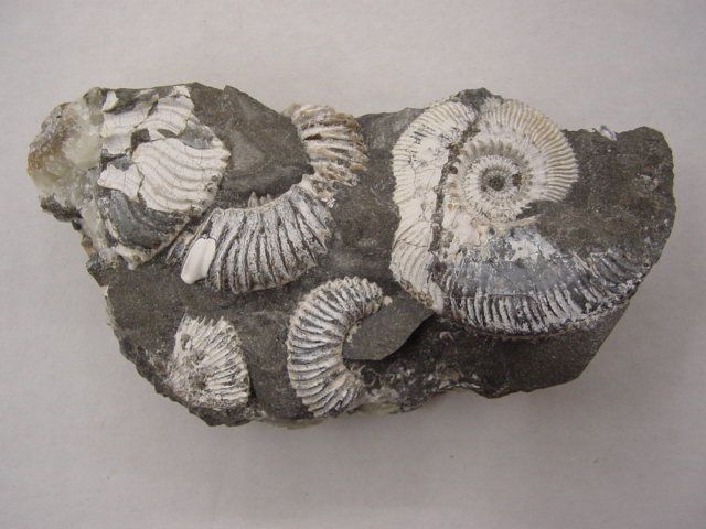 <p>Album photo de la faune anglaise</p> <p>Il contient les principaux fossiles encore découvrables de nos jours.</p> <p>Toutes ces pièces appartiennent à notre collection.</p> <p>Excellente visite !</p> <p>Phil « Fossil »</p>
