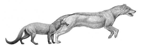 Hesperocyon and Sunkahetanka, two species of early dog. They were quite small and more closely resembled a mongoose. (Illustration by Mauricio Anton)  Hesperocyon y Sunkahetanka, dos especies de cànidos tempranos. Eran muy pequeños y se parecían a las mangostas.