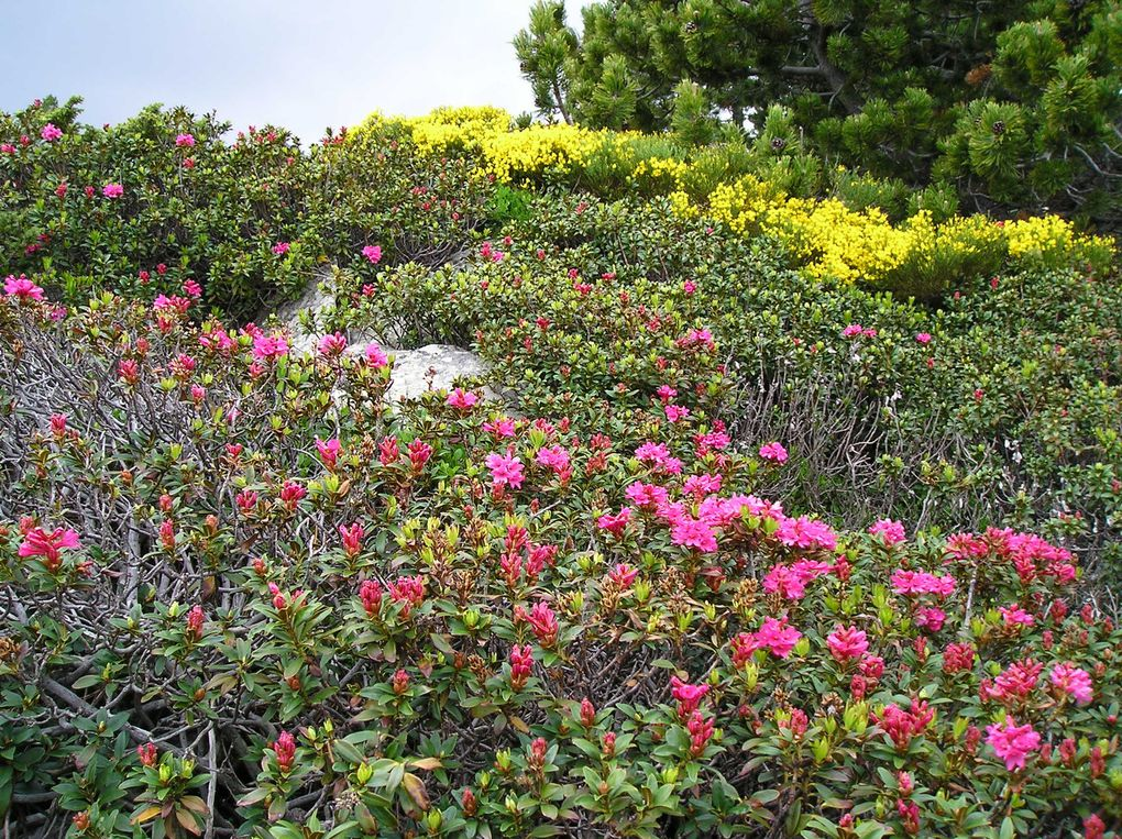 RHODODENDRON - Rhododendron Ferrugineux - Le feu des Alpages .