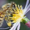 Un clic pour sauver les abeilles !