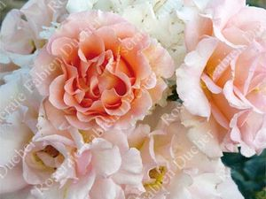 Rosa rugosa (1834) et un hybride de rugosa 'Jean de Luxembourg' (2010)