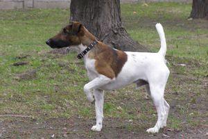 Fox Terrier de pelo liso: historia y carácter de la raza