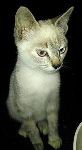 Mutine, chaton femelle type seal point, à l'adoption -> adoptée