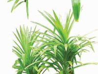 variétés de Pandanus - TREES AND SHRUBS OF THE MALDIVES  V.Selvam