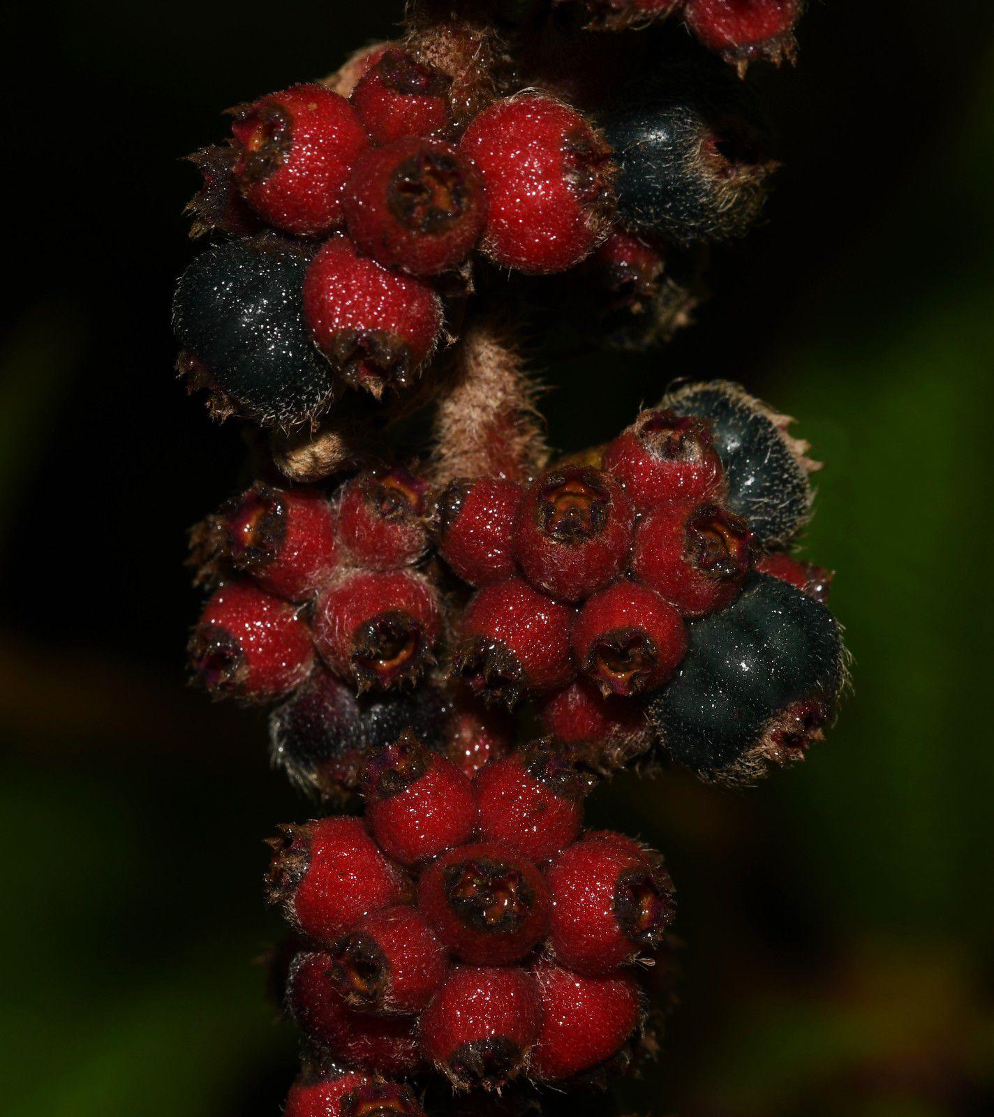 Miconia rufescens