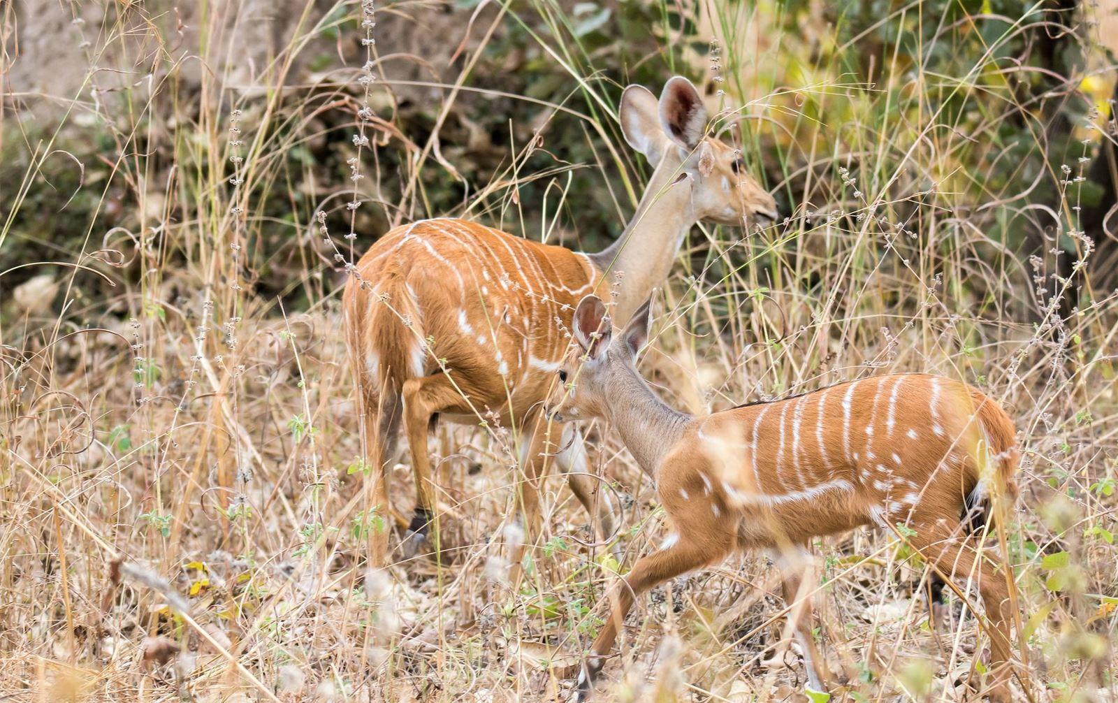 Il vit dans les forêts et les territoires d'arbustes en Afrique centrale et méridionale. Il est étroitement apparenté au koudou, au sitatunga et au bongo