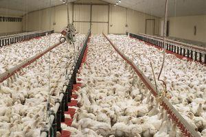 L'agro-industrie profite de la crise pour faire reculer les normes environnementales et sociales