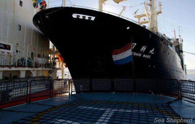 Un baleinier nippon éperonne des navires de l'ONG Sea Shepherd dans les eaux australiennes