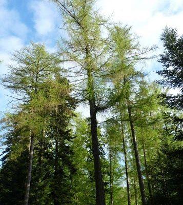 Mélèzes de la Forêt de Pélussin