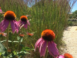 Echinacea au Jardin de l'Arbre en Aveyron