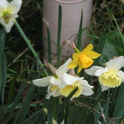 Narcisses et Jonquilles....