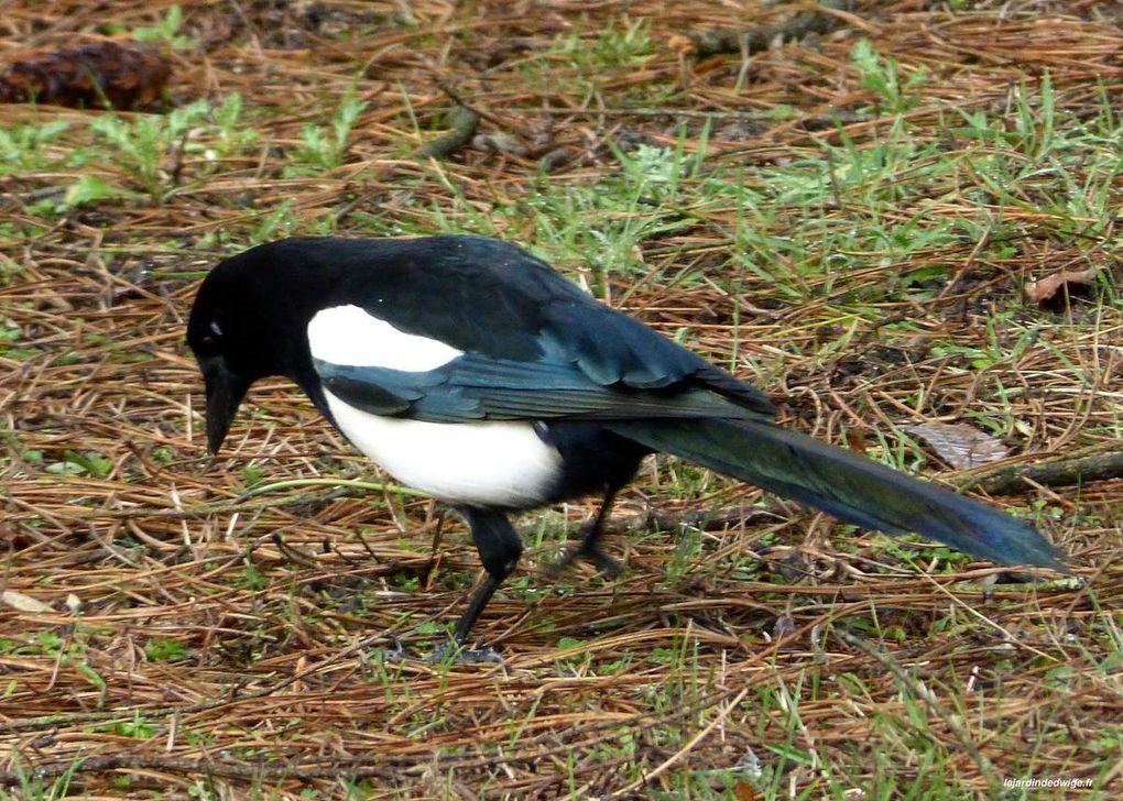 Une longue queue et un bec puissant pour cet oiseau sédentaire.