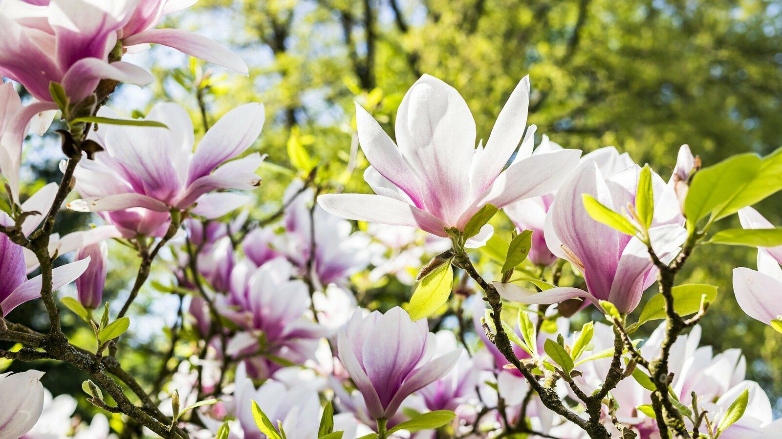 Un magnolia en fleurs