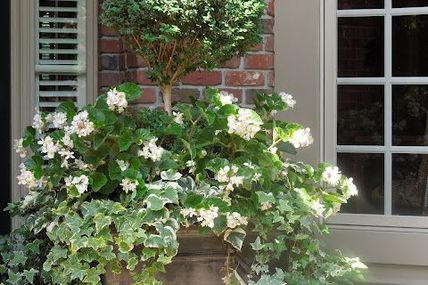 Boxwood topiary and