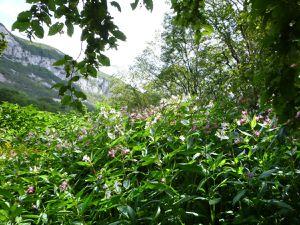 Balsamine de l'Himalaya