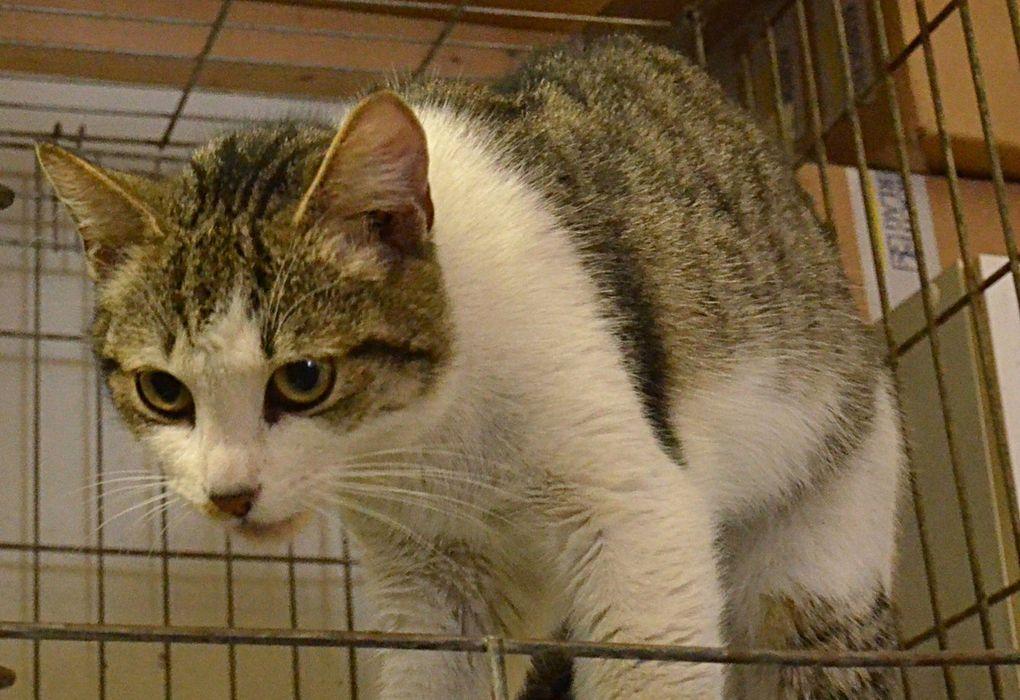 Elle est adoptée !!!  : MIGGY,  jeune chatte de 18 mois environ