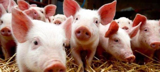 Les bus de Saint-Brieuc alimentés par l'urine des cochons !
