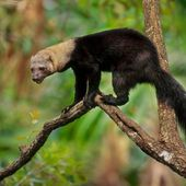 LA TAYRA (Eira barbara) - Le blog de Alex.bowhunter