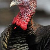 Dindon sauvage - Meleagris gallopavo - Wild Turkey
