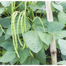 Plus de 2.000 agriculteurs nigérians prêts à cultiver du niébé GM cette année