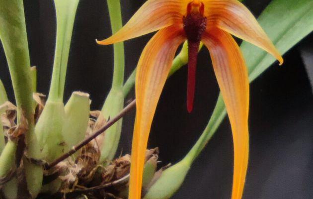 Bulbophyllum Wilbur Chang