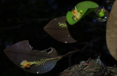 Lepanthes helicocephala (album)
