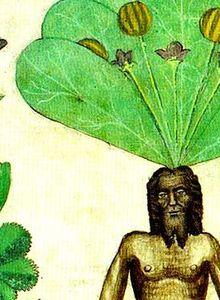 Galerie des mandragores : de la plante aux croyances.