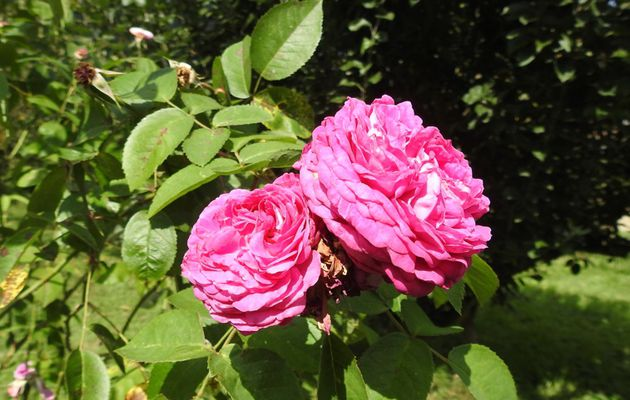 Encore des roses ;-)