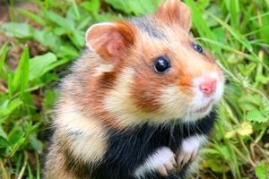 Le Grand Hamster d'Alsace a grand besoin d'aide…