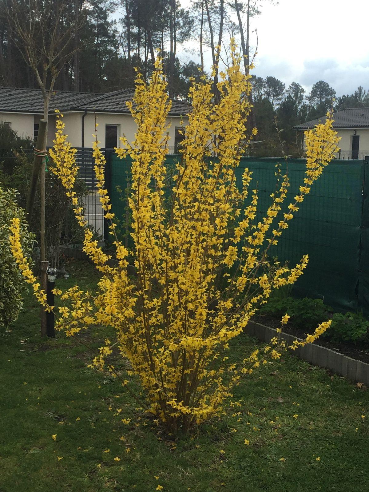 Le forsythia qui n'en peut plus de fleurir, merveilleuse lumière dans un jardin.