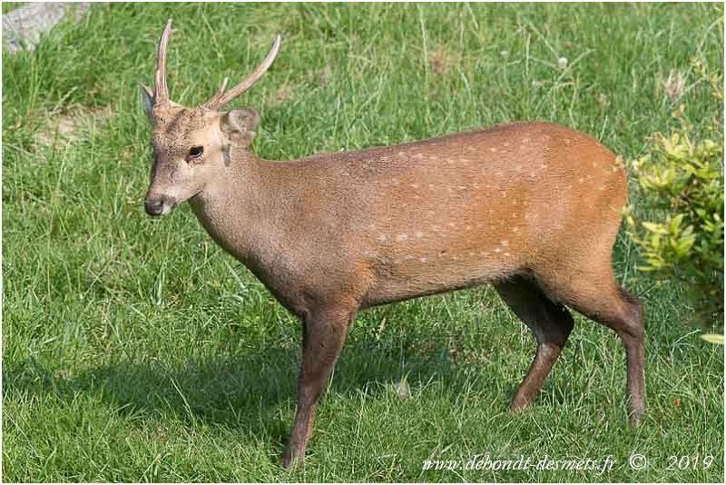 Le cerf cochon est une espèce menacée de disparition.