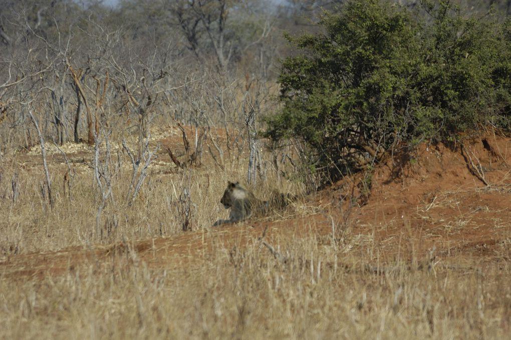 Album - Botswana-2012-Löwen