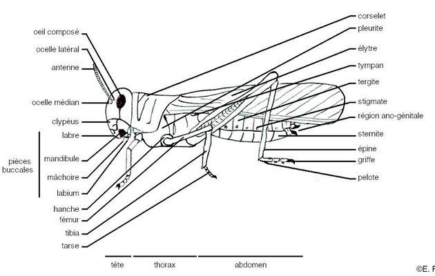 Glossaire illustré d'entomologie : Orthoptères