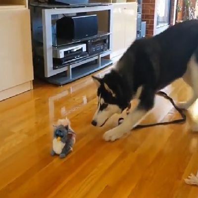 Husky appeuré par une peluche