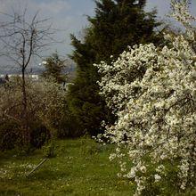Les arbres sont en fleurs...
