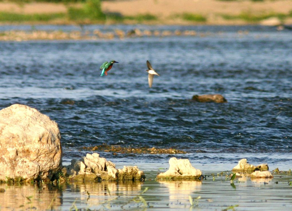 Six saisons d'affûts des Martins pêcheurs au bord e la Loire, soit plusieurs centaines d'heures, pour des vues pour certaines inédites. Photos de Jean-Marie Salomon, reproduction interdite sans autorisation.