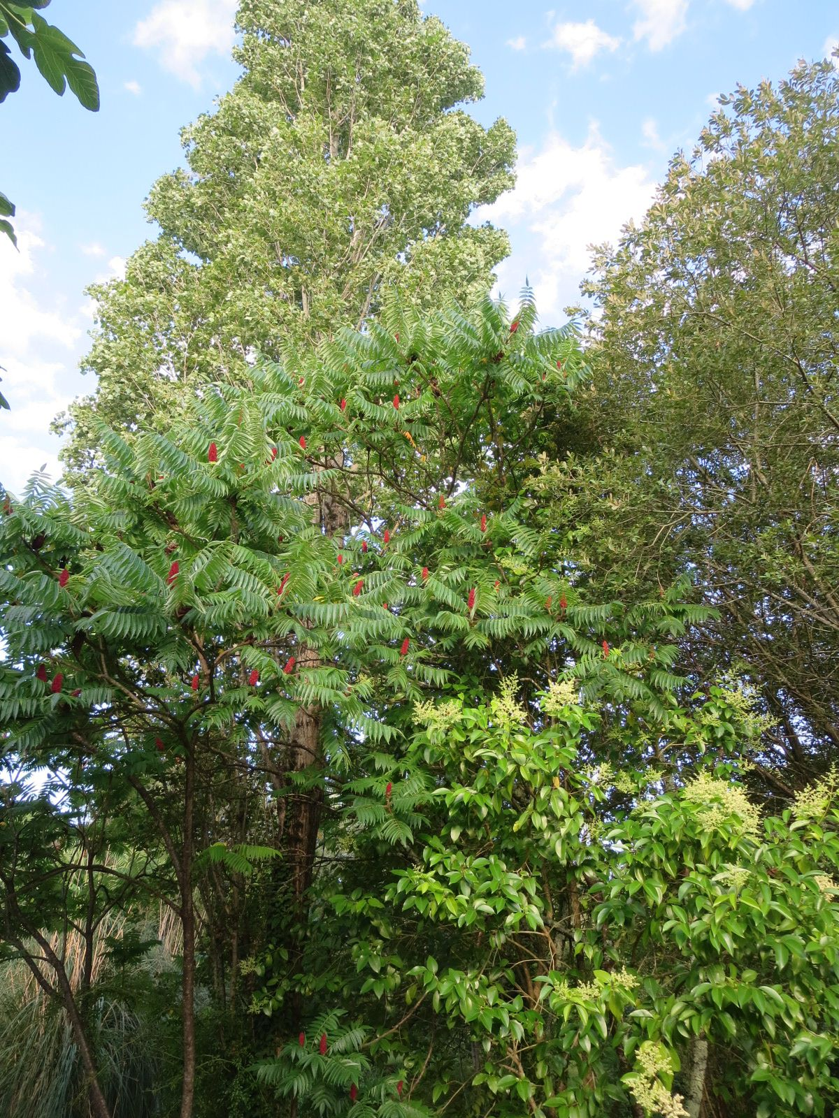 Un peu en avance...  les arbres et arbustes fleuris...  Buddleia,  Althéa, Bignone, Sumac, Albizia, etc, font la luxuriance de cet espace