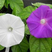 CRISPR used for first time to change flower color in Japanese ornamental plant
