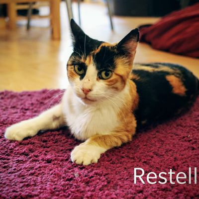 Restelle, chat femelle type isabelle de 2018, à l'adoption