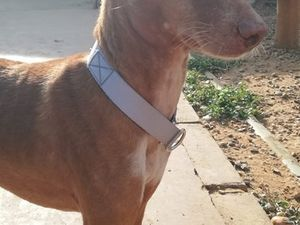 podenco petite taille a adopter