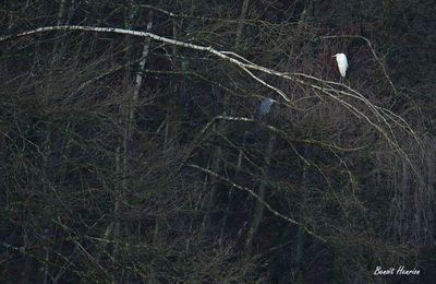 Grande aigrette et héron cendré (Ardennes, Vallée de la Semoy)