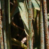 'Milestone' in fighting wheat disease
