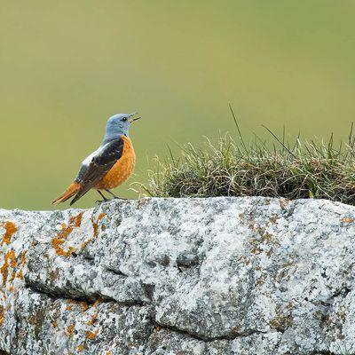 le Monticole de roche, superbe oiseau de montagne