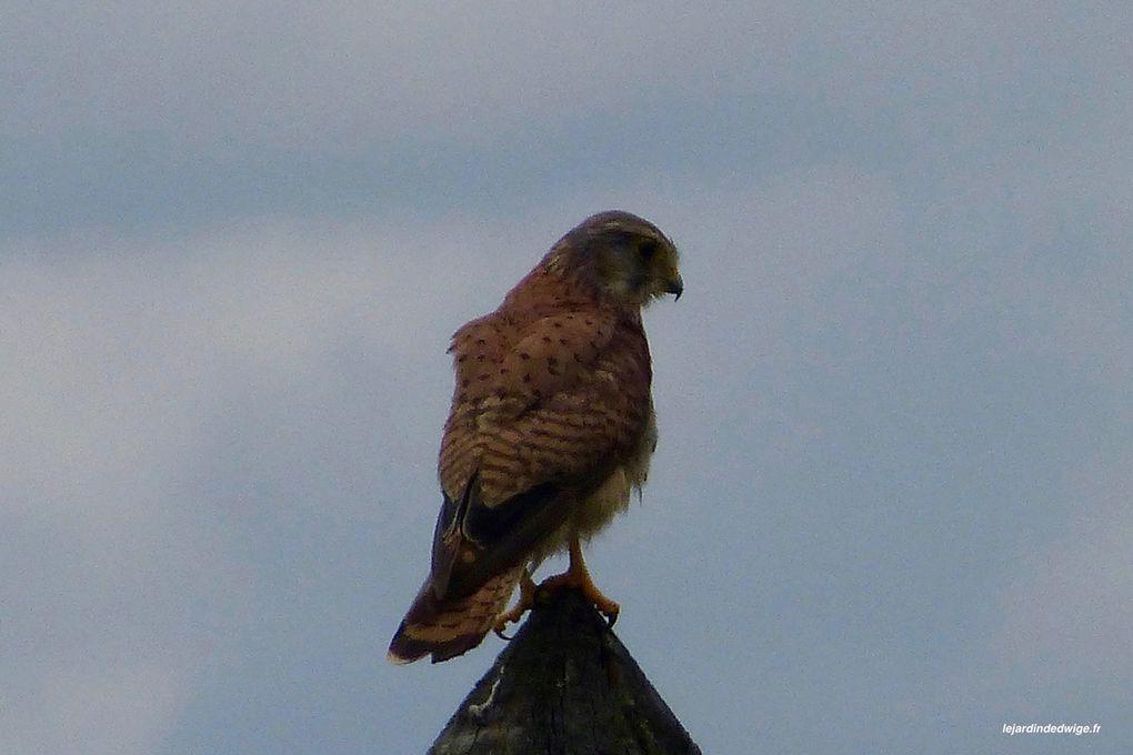 Faucon crécerelle - Falco tinnunculus