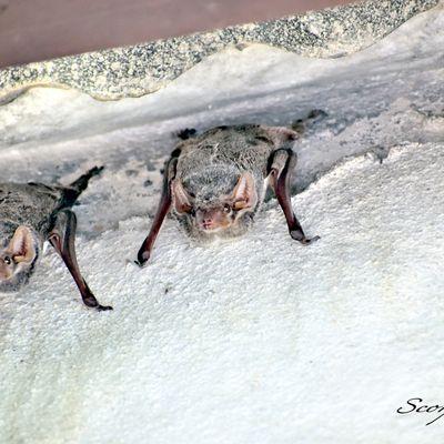 La Chauve-souris à ventre blanc (Taphozous mauritianus (É. Geoffroy Saint-Hilaire, 1818)).