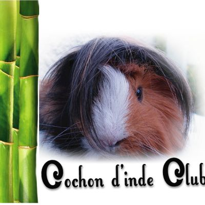 Cochon d'inde Club by VED